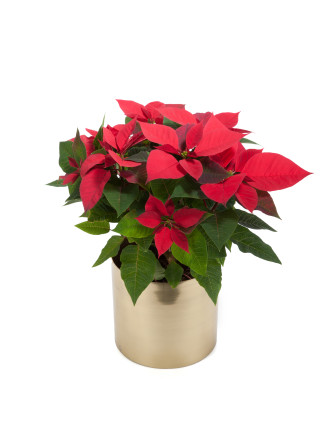Red Poinsettia (NSW Only)
